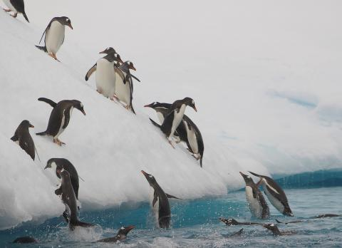 Photo of Gentoo Penguins by Ty Smedes